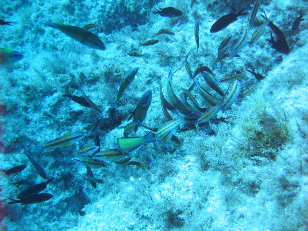Immagini Di Molte Specie Di Pesci Avvistabili Nel Mediterraneo. Tutte  #05ACC6 1024 768 Foto Di Mobili Per Cucina