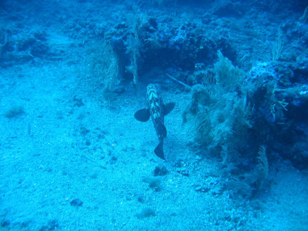 ... Secche di Tor Paterno - una cernia bruna femmina c494159fcb06