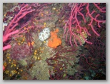 Promontorio dell'Argentario: gorgonie all'Argentarola. Una vaccehtta di mare.