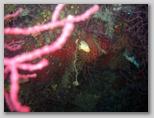 Promontorio dell'Argentario:  gorgonie all'Argentarola. In mezzo alle gorgonie si trovano anche dei piccoli rami di corallo.