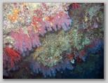 Promontorio dell'Argentario: Scoglio del Corallo. Qui ad una profondità di 24 metri si trova corallo in abbondanza da qui il nome dello scoglio.