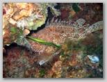 Promontorio dell'Argentario: uno scorfano. Gli scorfani sono maestri nel mimetismo. Qui se ne possono trovare anche di molto grandi.