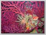 Isola d'Elba: gorgonie insieme ad un riccio saetta.