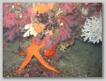 Isola d'Elba: una stella di mare tra il corallo.