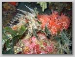 Isola d'Elba: uno scorfano