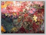 Isola d'Elba: corallo alle coralline