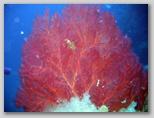 L'isola di Giannutri: un ramo di gorgonie.