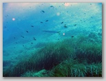 L'isola di Giannutri: un barracuda.