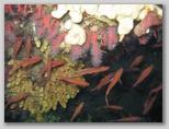 Anthias nel loro territorio preferito: il corallo nei pressi dell'Isola d'Elba